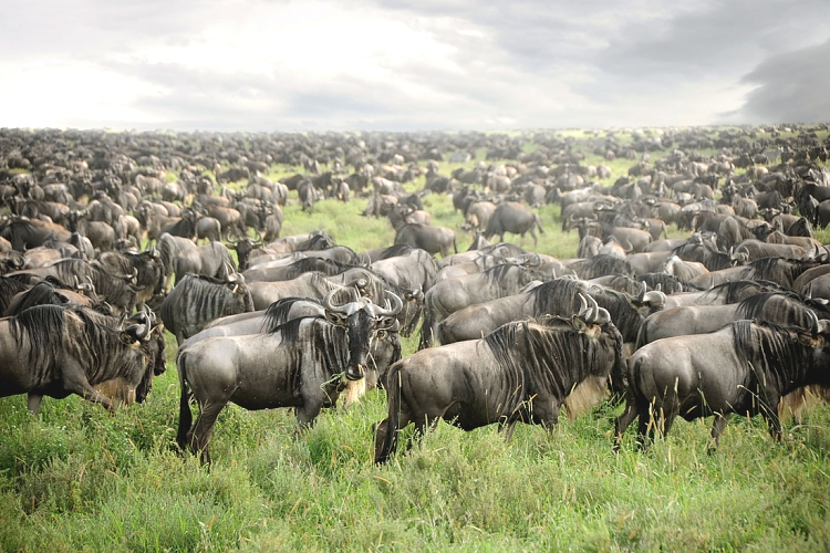 Wildebeest in the Serengeti