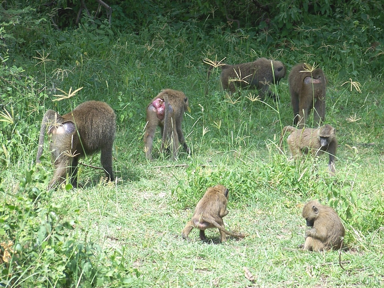 Baboons in Lake Manyara National Park