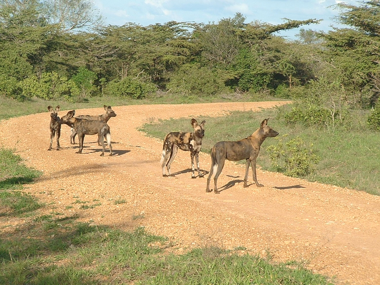 Hunting Dogs in the Selous
