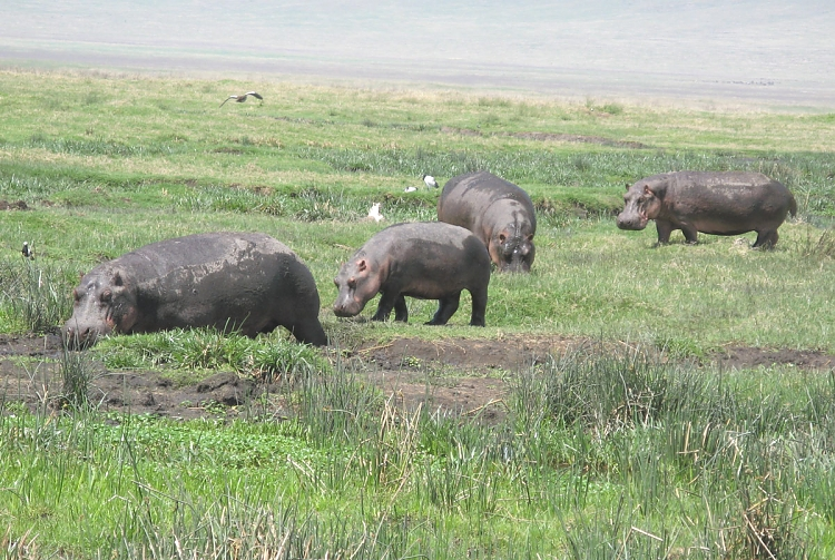 Hippos at the Ngorongoro Crater