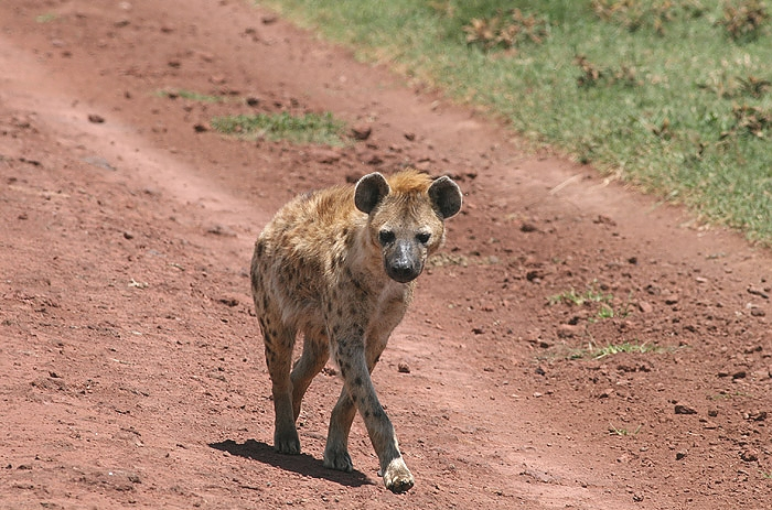 Hyena in Mikumi